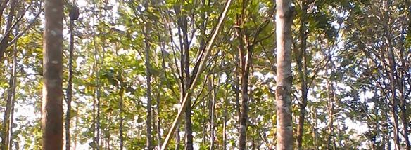 Furch Guitars podporuje péči o exotické dřeviny
