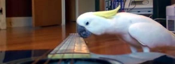 Papoušek hraje na kytaru